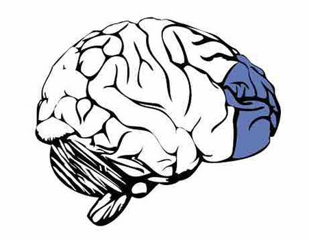 Coupe latérale du cerveau montrant le cortex préfrontal médian vers le centre à l'avant