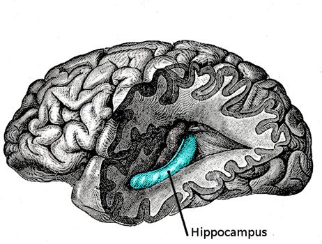Coupe du cerveau montrant en bleu la position de l'hippocampe, vers le centre
