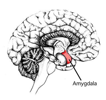 Coupe latérale de cerveau montrant l'agmydale au niveau inférieur du cerveau